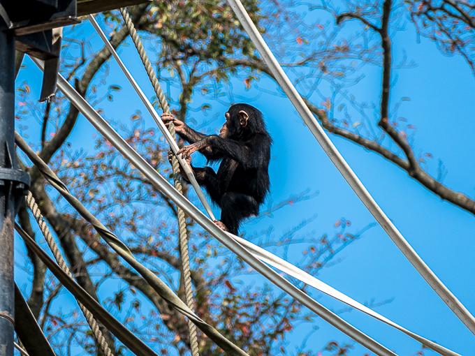 綱渡り中のチンパンジー