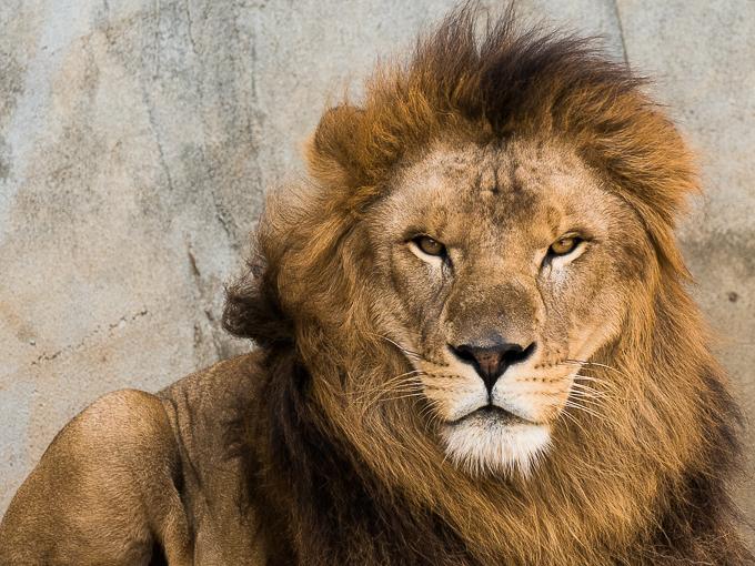 FZ1000で撮ったライオン
