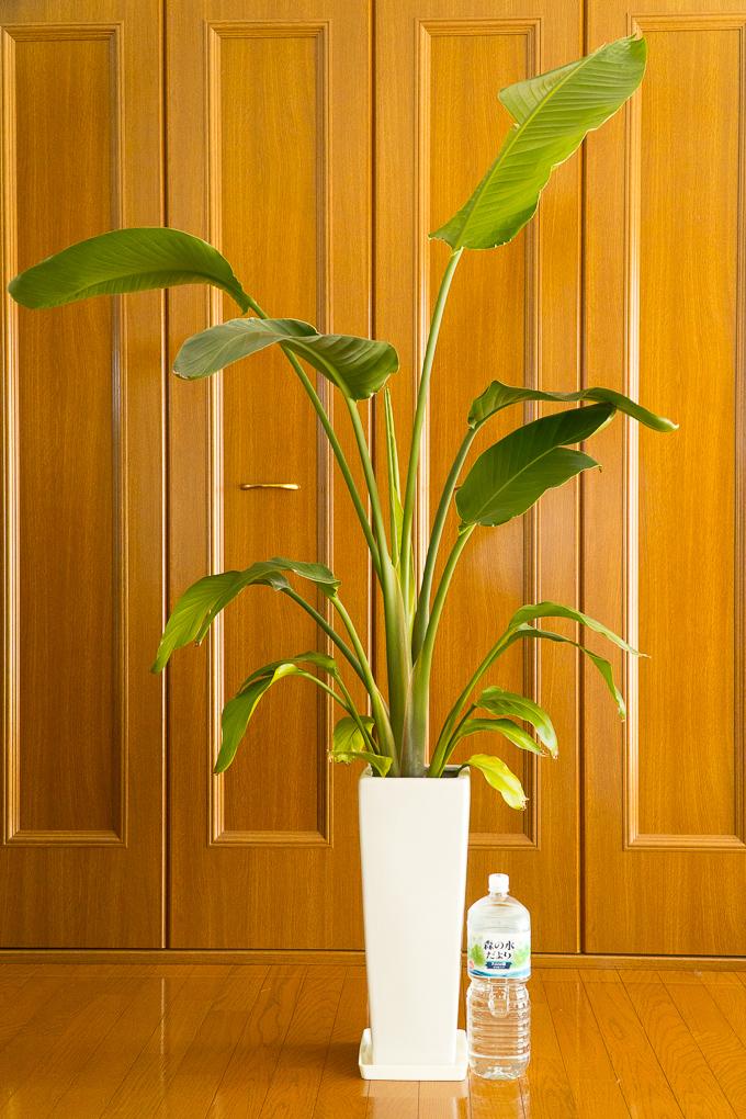 育ちに育った観葉植物のオーガスタ