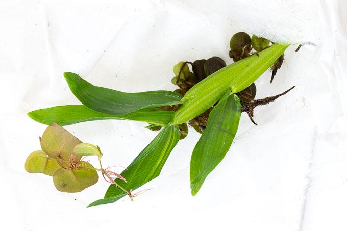 charm「楽アクア」ベタ初心者用飼育セットの浮き草